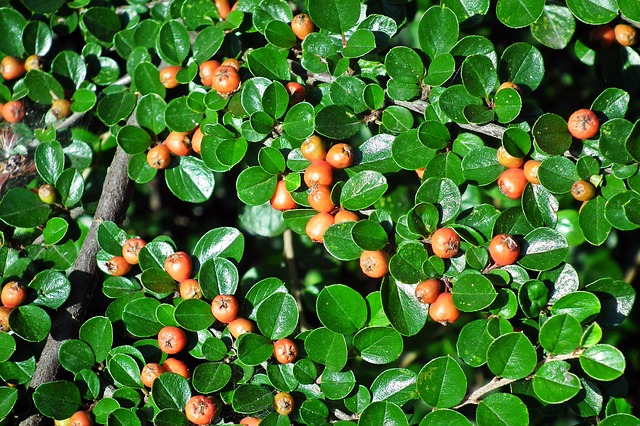 How to propagate Hedge Cotoneaster cotoneaster lucidus