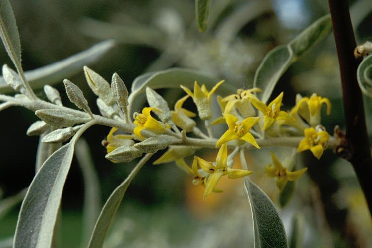 How to propagate Russian-Olive-Elaeagnus-angustifolia-Zone-2-plants