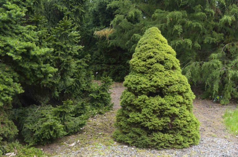 How to Propagate Dwarf Alberta Spruce (Picea glauca 'conica)
