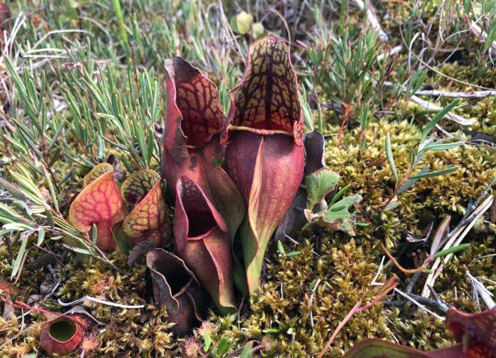 how to propagate pitcher plant Sarracenia Purpurea 1
