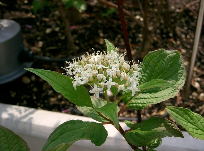 how to propagate siberian dogwood Cornus-Alba-Sibirica (2)